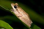 Common Tree Frog, Polypedatus maculatus, Bandhavgarh National Park.India....