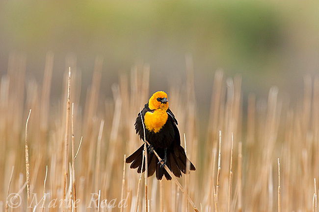Yellow-headed Blackbird (Xanthocephalus xanthocephalus) male in breeding plumage, Mono Lake Basin, California, USA