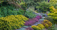Stepping stone path through drought tolerant summer-dry Northwest hillside garden with Watnong Gold English Yew, Erica cinerea 'Purple Beauty' heather, rosemary, and lavenders; Albers Vista Gardens