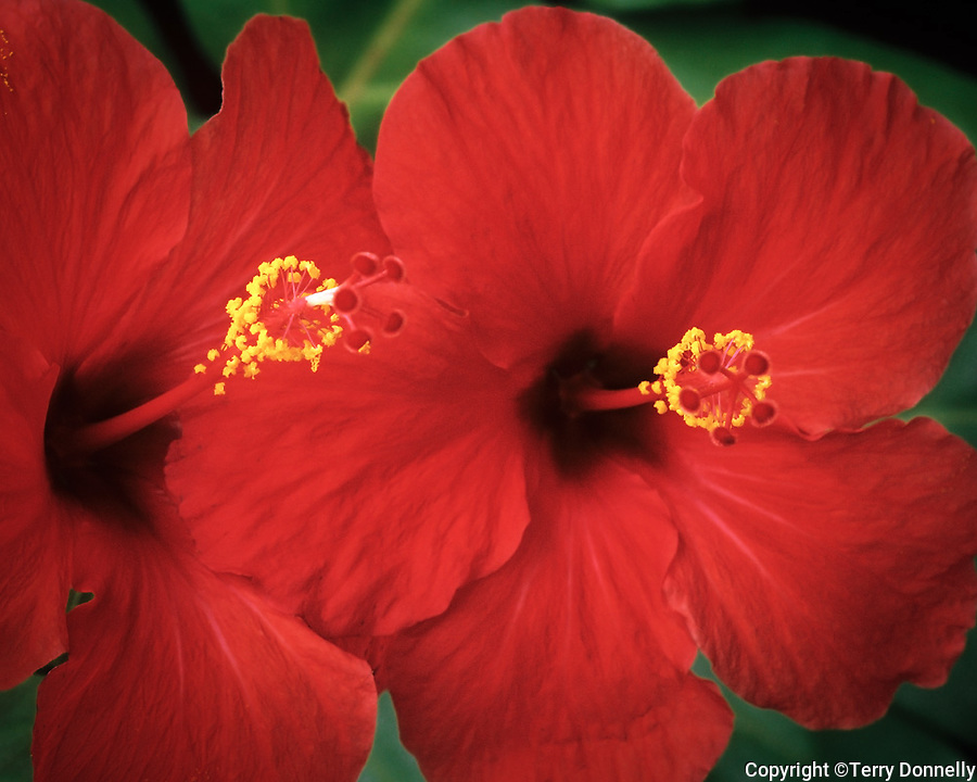 Two red Hibiscus (Hibiscus rosa-sinesis)
