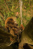 The nest, situated in the hollow of the tree more than fifteen meters off the ground, requires the honey gatherer to make a perilous climb without insurance, exposed to attacks by the bees.