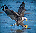 November 6,  2015 / Conowingo Dam, Maryland / Bald Eagles / Photo by Bob Laramie