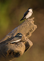 These tiny swallows often follow the boats puttering along the Rio Tarcoles.