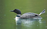 Adult common loon on a quiet northern lake stretching its leg as it swims during a rain shower.<br />