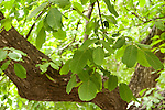 Walnut Tree, Juglans sp., Atlas Mountains, Nr Imlil, Morocco