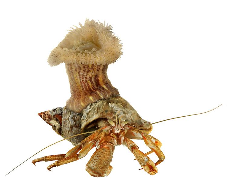 Calliactis parasitica anemone - on whelk shell occupied by hermit crab<br /> Eupagurus bernhardus
