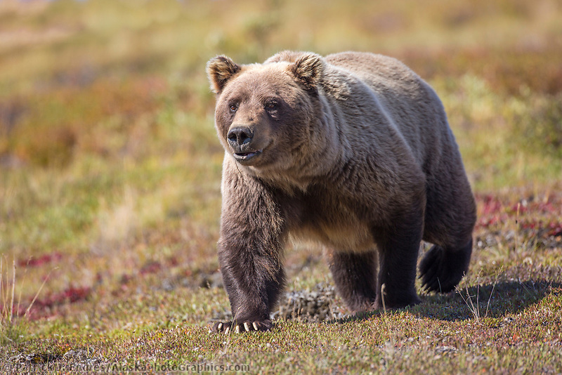 Female grizzly bear walks across the tundra in Denali National Park, Alaska.