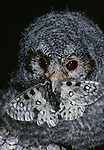 Flammulated owlet with prey in mouth.