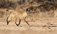 Adult Bat-eared fox running