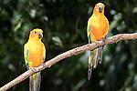 Kuranda, Queensland, Australia; Birdworld Kuranda, Sun Conure (Aratinga solstitialis), native to Central America , © Matthew Meier, matthewmeierphoto.com All Rights Reserved
