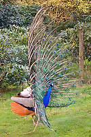 Peacock Male Bird Poultry with full spread feathers in yard, display side view, farm peafowl, Indian Peacock with blue body