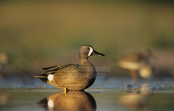 Blue-winged Teal, Anas discors,male feeding, Willacy County, Rio Grande Valley, Texas, USA, May 2004