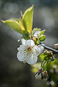 Blossom of Cherry 'Morello', late April. The best-known and most commonly grown of the acid or sour cherries. Ideal for cooking and preserving. It wil tolerate cooler growing conditions and a shadier site than sweet varieties.