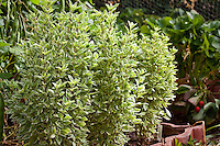Variegated non flowering basil, Ocimum x citriodorum 'Pesto Perpetuo' in herb garden, foliage