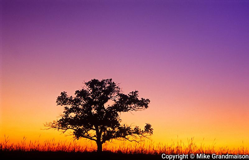 Bur oak tree in tall grass prairie at dawn. Tolstoi Tall Grass Prairie Preserve, Manitoba