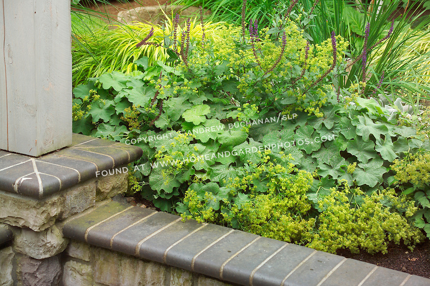 Garden detail of a stone wall with a decorative cap, backed by the varied textures of Lady's Mantle (Alchemilla), salvia, and Japanese Hakone grass. Design by Sander Groves landscapes, Inc.