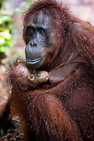 Female Orangutan with Juvenile (Pongo pygmaeus) - Tanjung Puting National Park, Central Kalimantan Indonesia.