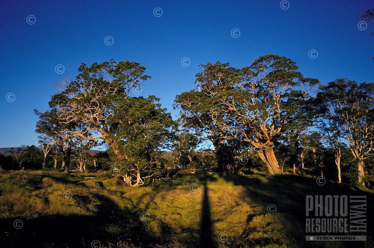 Koa trees at a ranch above Volcano