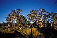 Koa trees at a ranch above Volcano