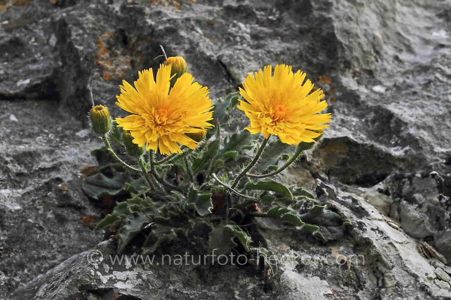 Niedriges Habichtskraut, Hieracium humile, Dawarf hawkweed