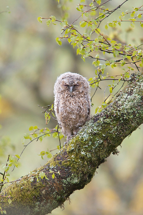 Tawny owl fledgling on a branch over hanging a river valley, the Berwyns