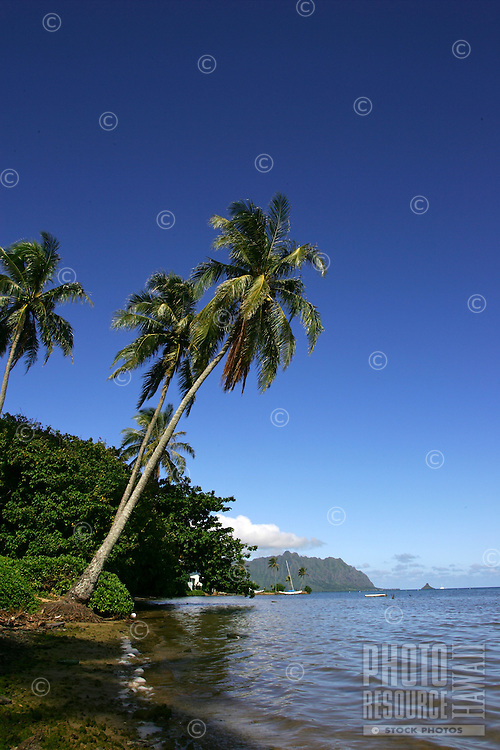 Coconut trees breached over coastal waters near Kahaluu with Chinamans Hat in the background on the island of Oahu, Hawaii.