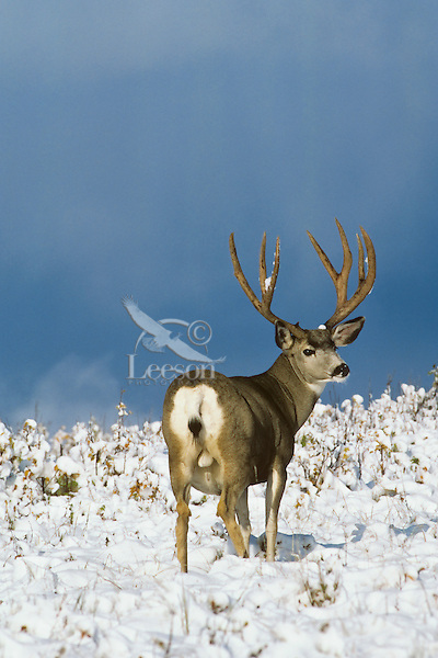Mule deer buck (Odocoileus hemionus).  Northern Rockies, November.