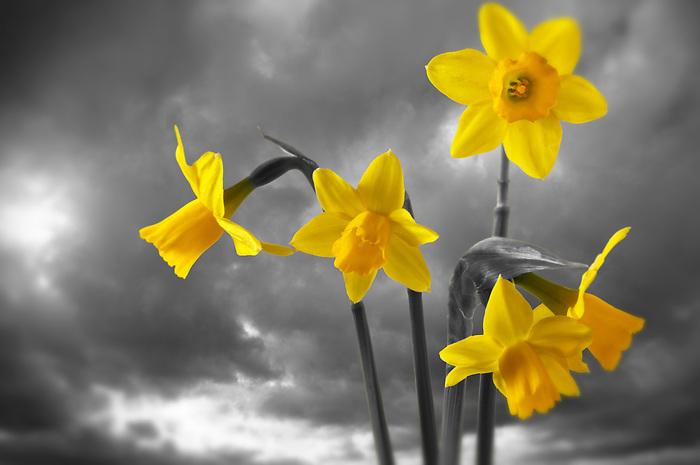 Spring daffodils flowering