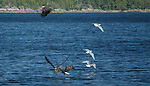 Bald eagles (Haliaeetus leucocephalus) fishing, British Columbia, Canada