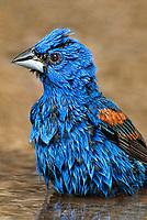 538680012v a wild male blue grosbeak guiraca caerulea bathes in a small pond in the rio grande valley in south texas
