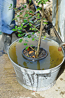 Soaking Quercus ilex (Evergreen Oak)