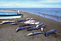 blue sharks, Prionace glauca, single day's catch, Meixican shark fishery, Isla Magdalena, Baja, Mexico, Pacific Ocean