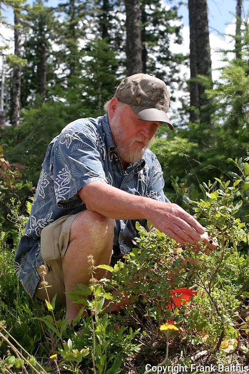 man picking huckleberries in St. Maries