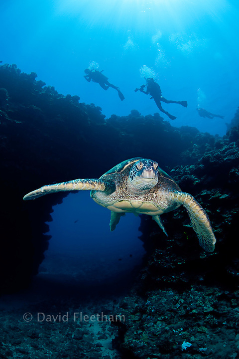 An endangered species, green sea turtles, Chelonia mydas, are a common sight around Hawaii.  This individual is pictured in front of an archway outside First Cathedral off the island of Lanai.