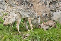 Wild Coyote (Canis latrans) regurgitating food for pups near den.  Western U.S., June.