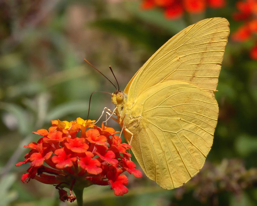 Sulphur Butterfly (Pieridae)