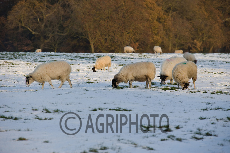1.12..2010 Ewe's In a snow covered field.Tim Scrivener,Vine Cottage,Barholm,Stamford,.Lincolnshire,PE9 4RA