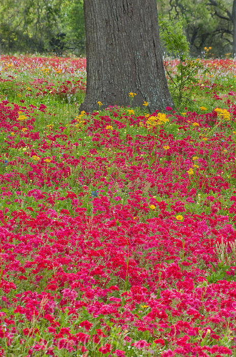 797050026 red drummonds phlox phlox drummondii and yellow crown tickseed coreopsis nuecensis below oak tree in de witt county texas