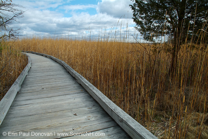 Phragmites australis plant along  the boardwalk at Sandy Point Discovery center in Stratham, New Hampshire USA.