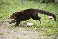 White-nosed Coati; Nasua narica; running; Ecuador, Prov. El Oro, Buenaventura Ecological Reserve,