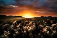 Cholla Gardens at sunset. Joshua tree National Park, California
