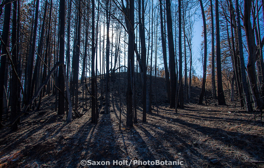 Shadows of burned trees after Delta Fire aftermath; Shasta-Trinity National Forest, California