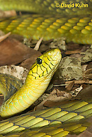 0423-1120  Western Green Mamba (West African Green Mamba), Detail of Head, Dendroaspis viridis  © David Kuhn/Dwight Kuhn Photography