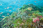Sea of Cortez, Baja California, Mexico; a school of Scissortail Chromis (Chromi atrilobata) fish swimming over pink and yellow barrel sponges on a rocky reef