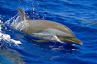 pantropical spotted dolphin, Stenella attenuata, wake-riding, Big Island, Hawaii, Pacific Ocean