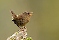 Male Pacific wren proclaiming his territory by sing from his favorite perch atop a rotting stump.<br /> Woodinville, Washington<br /> 3/24/2013