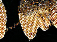The wax chain with honeybees on a comb