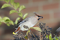 Waxwing Bombycilla garrulus (L 18cm) is a much-admired bird, named because adults have red, wax-like projectionist on the wings. The plumage is mainly pinkish buff plumage but note the crest, black throat and black mask through the eye. The rump is grey, the undertail is chestnut and dark tail has a broad yellow tip (narrower in females than males). Waxwings breeds in northern mainland Europe and are winter visitors to Britain. In most years there are just a few records but once every decade or so they appear in large numbers. Typically, they are remarkably indifferent to people, allowing superb views to be had.