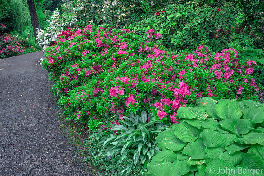 ORPTC_D214 - USA, Oregon, Portland, Crystal Springs Rhododendron Garden, Rhododendrons and azaleas in bloom along garden pathway.