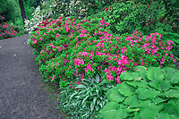 ORPTC_D214 - USA, Oregon, Portland, Crystal Springs Rhododendron Garden, Rhododendrons and azaleas in bloom along garden pathway.